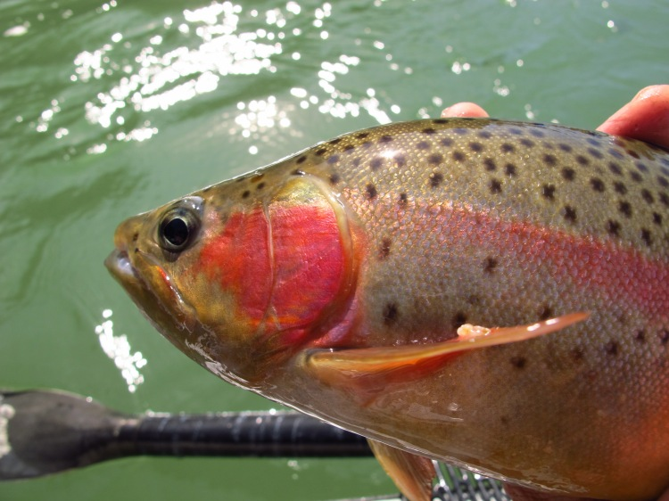 Redding fly fishing fish kennedy brothers for Trout fishing northern california