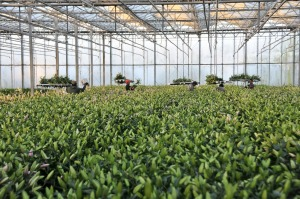 Sun Valley Floral Group is one of the largest commercial flower producers in the United States.
