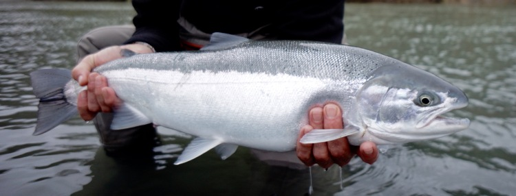 A fresh California Steelhead that was caught on a dropping river after a large storm