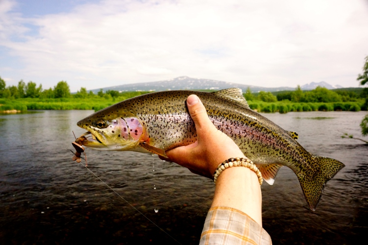 Meat eating trout