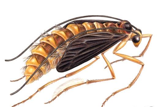 caddisfly-october-caddis-pupa_fotor